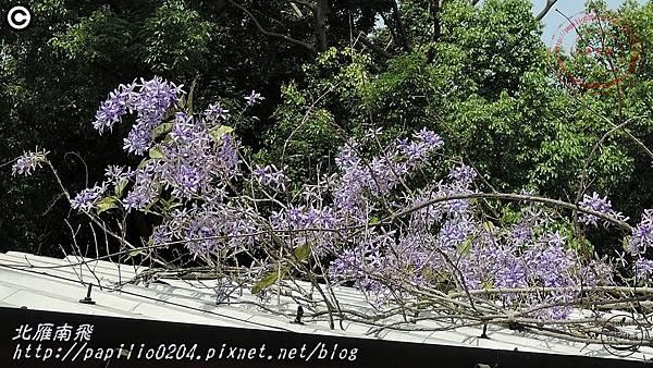 03科博館藍花藤(錫葉藤).JPG