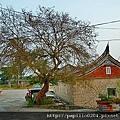 金門東村榔榆百年老樹