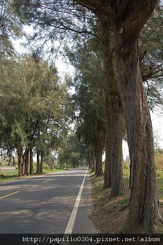 金門環島北路木麻黃行道樹