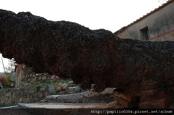 金門山后桄榔老樹