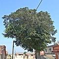 金門後豐港老榕樹