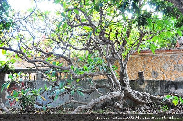 金門碧山緬梔(雞蛋花)百年老樹