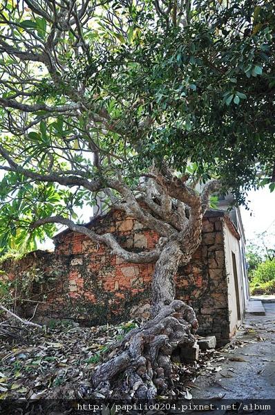 金門陽翟緬梔(雞蛋花)百年老樹