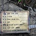 金門埕下百年老榕