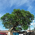 金門后湖緬梔(雞蛋花)百年老樹