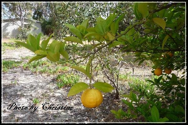 BUNKHOUSE 的檸檬樹~