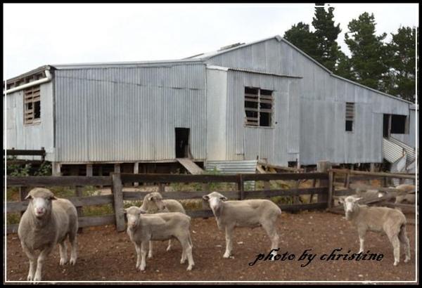 剃羊毛小屋前的羊咩咩