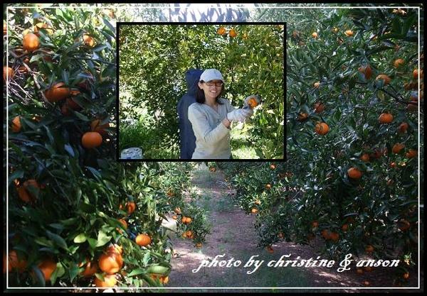我在採摘橘子當中