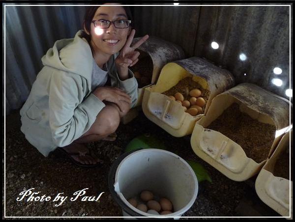 我在撿今天母雞下的蛋啦!