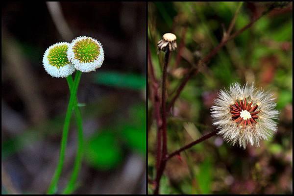 2012-0818-_矮菊-蒴果