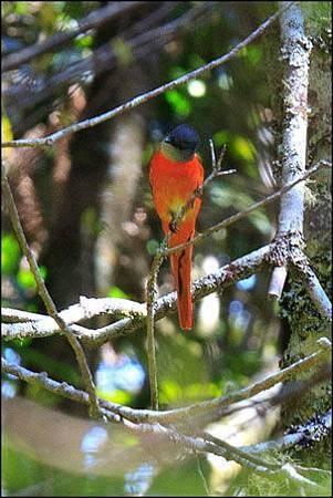 2013-0215-112119-觀霧瀑布-紅山椒鳥
