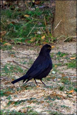 2013-0120-164308-金門植物園-黑鶇