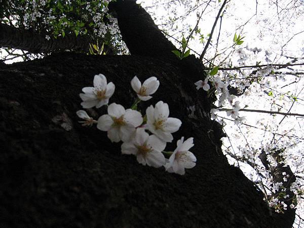 2008 東京春遊 028