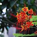 20080628讀書會-場外的花兒都開了(蛺蝶花吧)