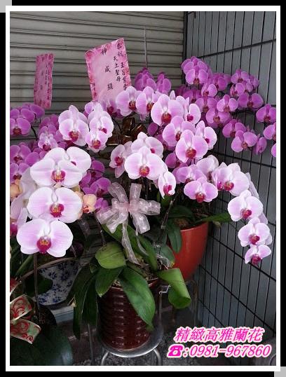 蘭花盆栽 蝴蝶蘭 花藝設計 精選禮物