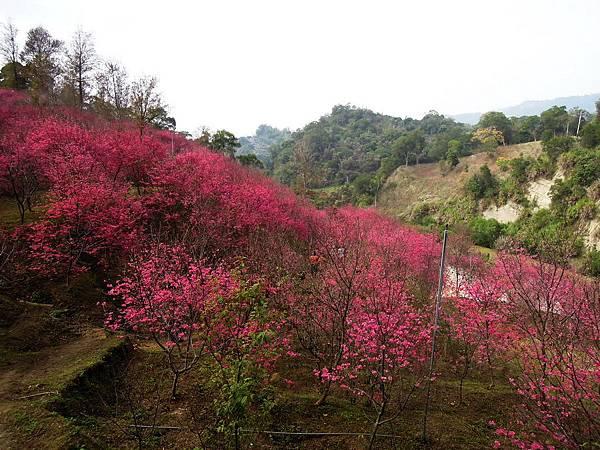 20120214濁水巷櫻花_0036_調整大小.jpg