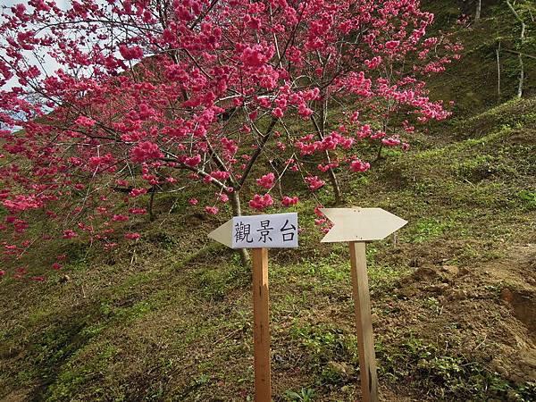20120214濁水巷櫻花_0067_調整大小.jpg