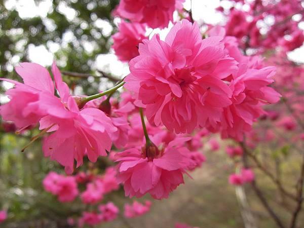 20120214濁水巷櫻花_0069_調整大小.jpg