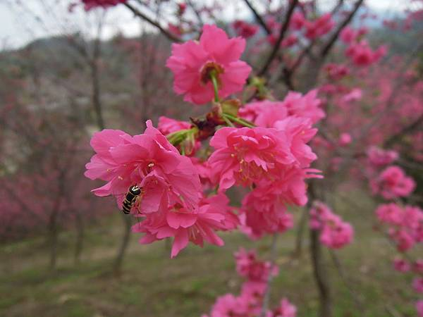20120214濁水巷櫻花_0107_調整大小.jpg