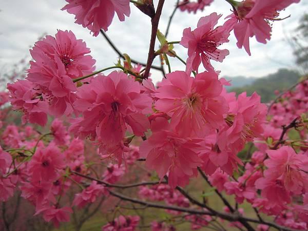 20120214濁水巷櫻花_0121_調整大小.jpg