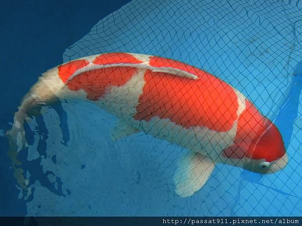 20121208台灣國際錦鯉品評(巨鯉總冠軍)_0059_調整大小