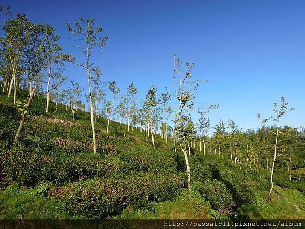 20130629南投鹿谷大崙山杉雲農場_0202.jpg
