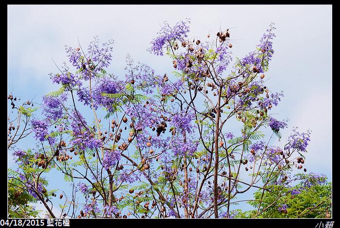 20150418藍花楹_0015.jpg