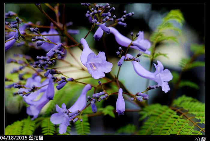 20150418藍花楹_0026.jpg