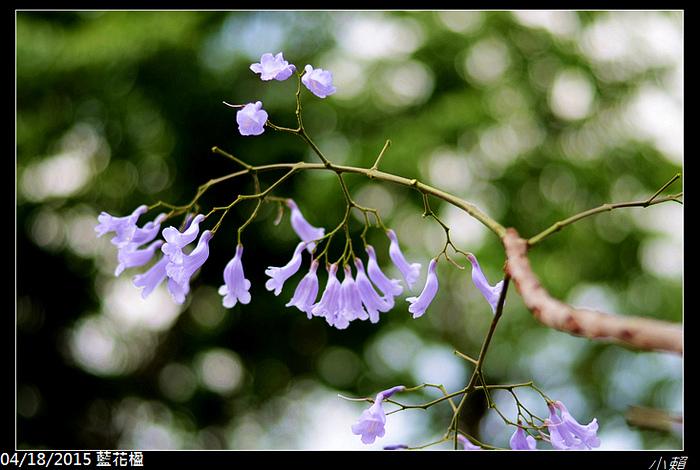 20150418藍花楹_0082.jpg