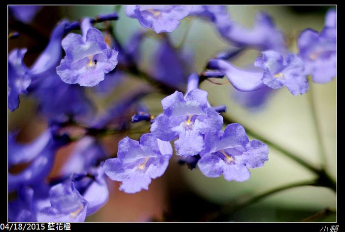 20150418藍花楹_0063.jpg