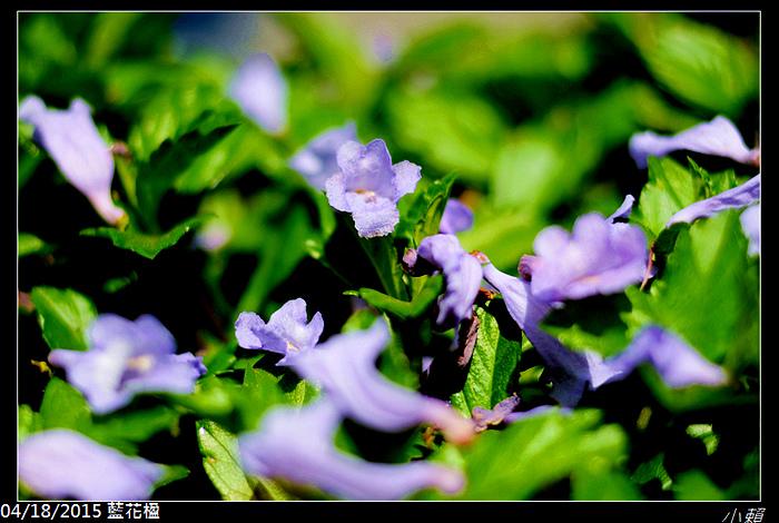 20150418藍花楹_0034.jpg