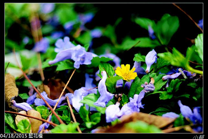20150418藍花楹_0040.jpg