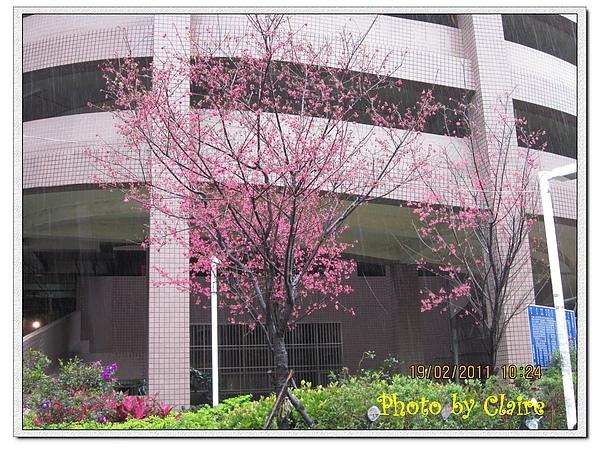 2011櫻花