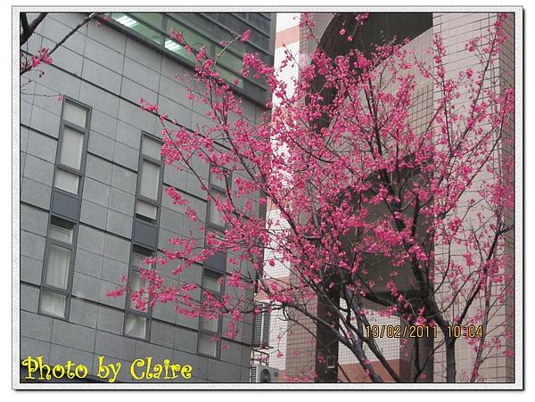 2011轉角遇見櫻花