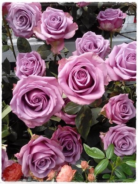 玫瑰展-2.jpg