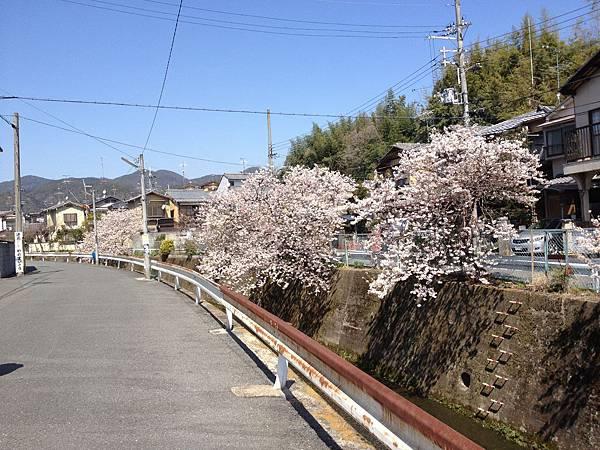 Ihouse 1的櫻花