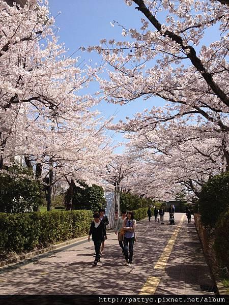 立命館的櫻花.JPG