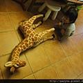 20111109-把長頸鹿壓跨了....蹲在一旁:「你還好嗎??」