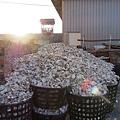 2012.12.29-雲林台子村什麼沒有....就牡蠣最多了~這些堆積如山的牡蠣殼是等著要打洞穿線再放回海裡的...