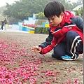 2013.02.12-這天風還蠻大的..使得地上多了很多掉落下的櫻花