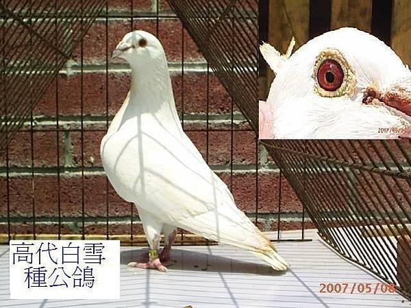 2001白雪公鴿1.JPG