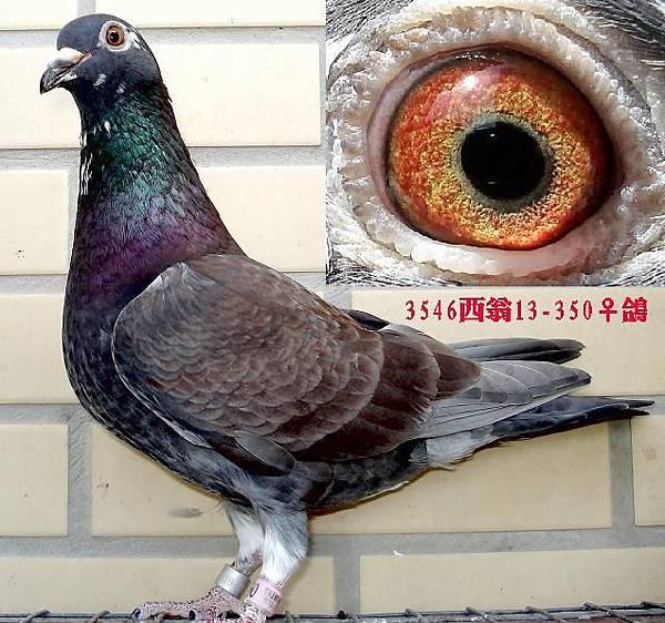3546老西翁13-350母鴿7.JPG