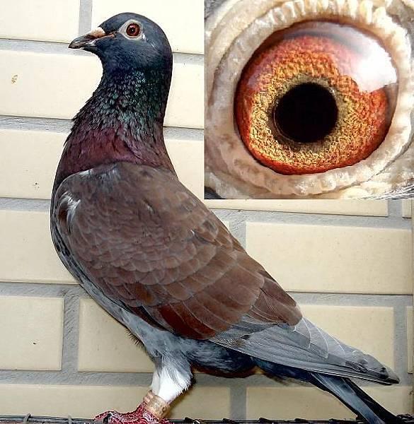 3546西翁2008母鴿.JPG