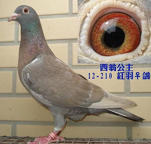 3546西翁2012母鴿.JPG
