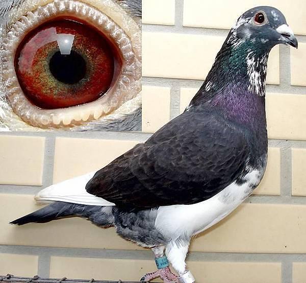戈登13-806黑白公鴿.JPG