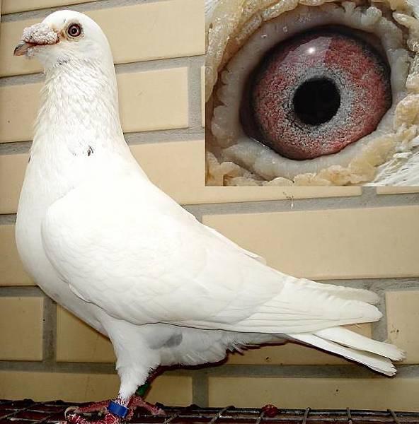 白雪2004公鴿.JPG