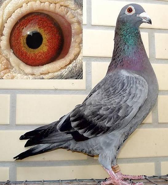 詹森2011石板公鴿.JPG