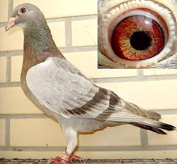 詹森石板母鴿1.JPG