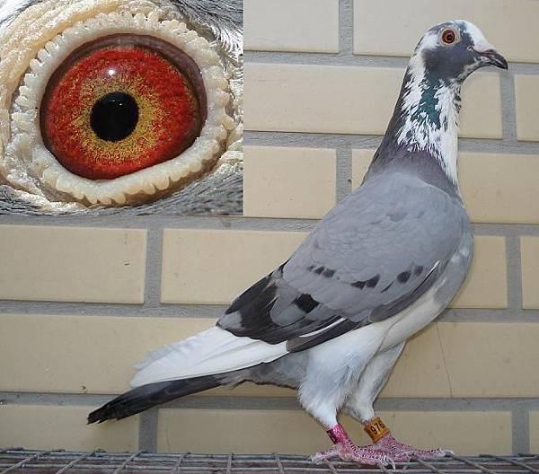 2009灰白紀錄母鴿.JPG