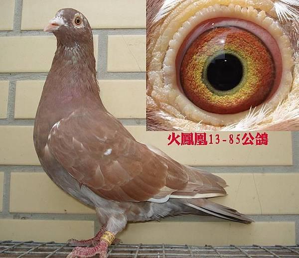 慕利門13-85公鴿.JPG